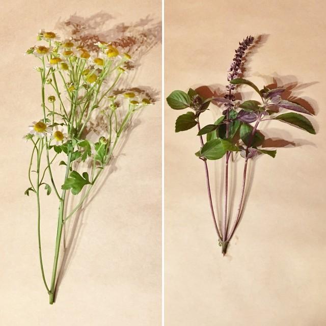 一つの茎から葉や花が左右に何本も伸びる種類の花